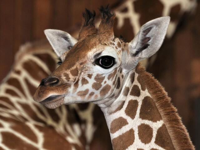Giraffe Sala